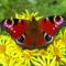 Een roodachtig bruine vlinder, grote opvallende ogen