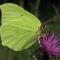 Gele vlinder, vrouwtje bijna wit