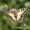 Grote gele vlinder met zwarte vlekken
